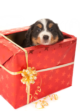 Six weeks old Bernese mountain dog puppy sitting in a christmas present photo