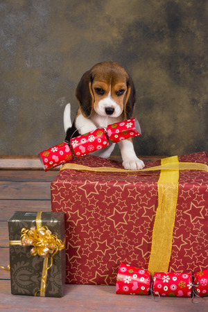 Seven weeks old adorable little beagle puppy stealing a christmas gift photo