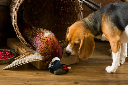 dead dog: Young beagle dog smelling a dead pheasant after a hunting day