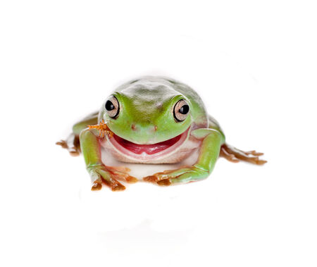 treefrog: Smiling green tree frog eating an insect isolated on white Stock Photo