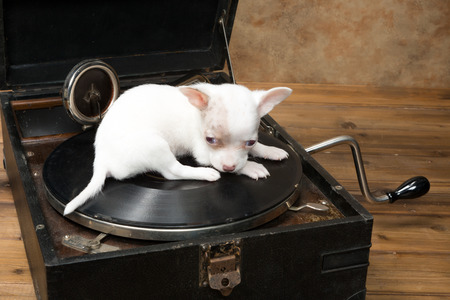 phonograph: Six weeks old little chihuahua puppy sitting on an antique gramophone Stock Photo