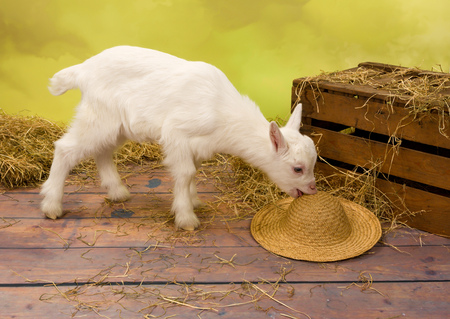 bleating: Naughty ten days old baby milk goat eating a straw hat