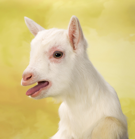 bleating: Newborn white baby milk goat bleating loudly