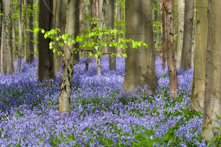 Beech trees showing their first foliage in a springtime bluebells forest photo
