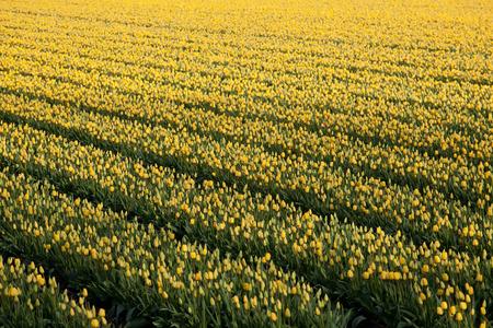 bloembollenvelden: Bekende Nederlanders bollenvelden met miljoenen tulpen in Nederland
