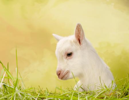 bleating: Newborn white baby milk goat lying in grass