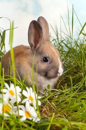 newborn animal: Three weeks old brown rabbit in a daisy garden Stock Photo