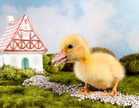 yellow duckling: Easter fairytale scene with a miniature gnome house and yellow duckling