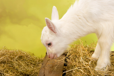 bleating: Ten days old little white baby milk goat