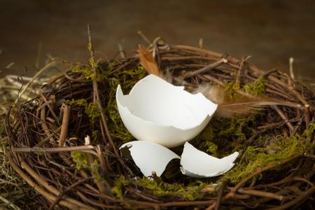 nest egg: Empty eggshells lying in an abandoned nest Stock Photo