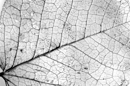black and white leaf: Background textured image made of delicate leaf veins Stock Photo