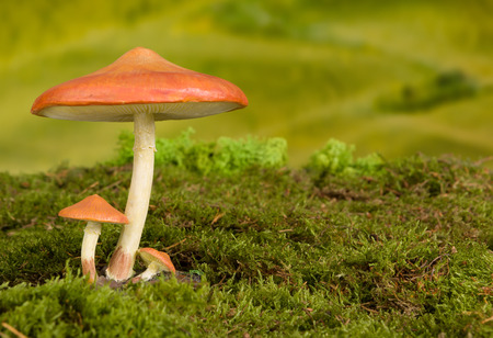 Three red toadstools on moss to be used as fairy tale background photo
