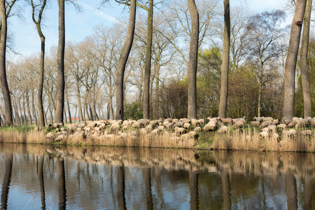flemish: Sheepdogs herding a flock of sheep near the canal of Damme in rural Flanders in Belgium