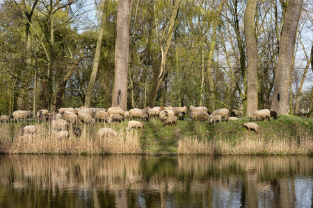 in herding: Sheepdogs herding a flock of sheep near the canal of Damme in rural Flanders in Belgium