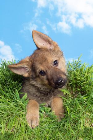 german shepherd on the grass: Cute little nine weeks old german shepherd puppy sitting in grass