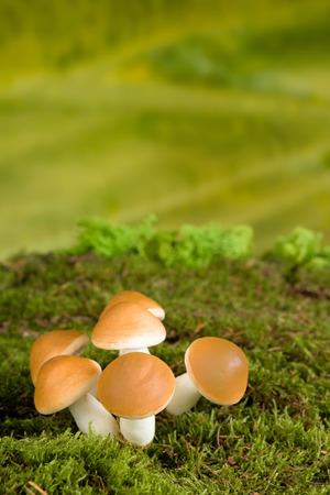 Fairytale scene with brown mushrooms as gnome backdrop photo