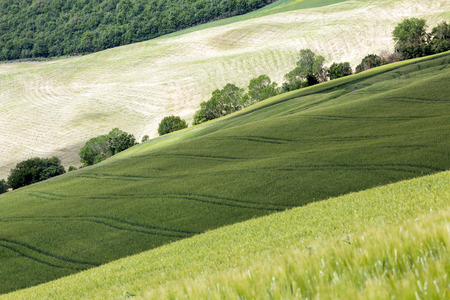 val d      orcia: Green lines in the wheat and grass fields of Tuscany near pienza Stock Photo