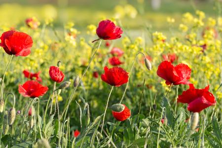 fiori di campo: Papaveri e altri fiori selvatici che crescono lungo la strada in Toscana