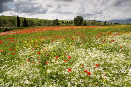 Mohnblumen und Wildblumen-Feld in den sanften Hügeln der Toskana in der Nähe von Pienza Italien