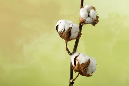 textile: Natural stem of cotton flowers producing raw cotton for textile industry Stock Photo