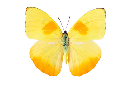 pieridae: Yellow butterfly from Tingo Maria in Peru, Phoebis Philea Philea in Latin, orange-barred sulphur in English Stock Photo
