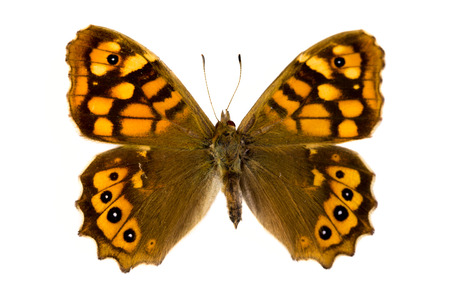 speckled wood: Pararge aegeria aegeria butterfly or Speckled Wood in English, originating from France