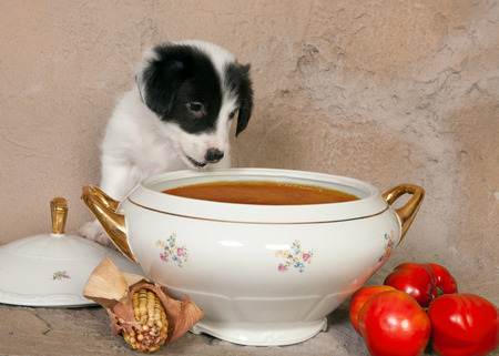 border collie puppy: Hungry little border collie puppy in front of a soup tureen