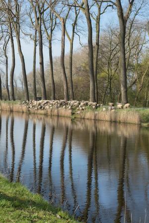 in herding: Sheepdogs herding a flock of sheep near the canal of Damme in rural Flanders in Belgium (Damse Vaart)