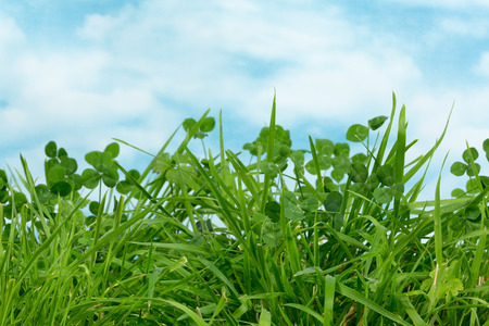 Fresh clover and grass growing in a meadow with copy space Standard-Bild