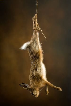 Dead hare hanging on a rope in an old master hunting still life