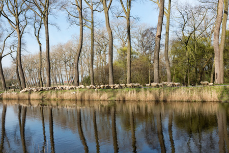 sheepdogs: Sheepdogs herding a flock of sheep near the canal of Damme in rural Flanders in Belgium