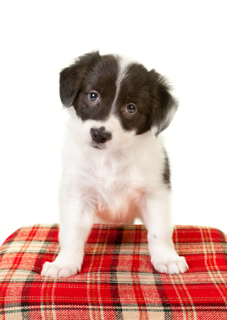 collies: Puppy