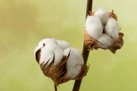 soft background: Natural stem of cotton flowers producing raw cotton for textile industry Stock Photo