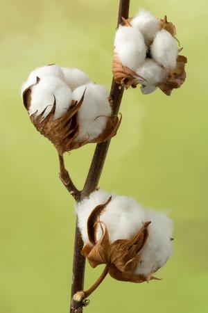 textile industry: Madre natural de flores de algodón producir algodón en rama para la industria textil