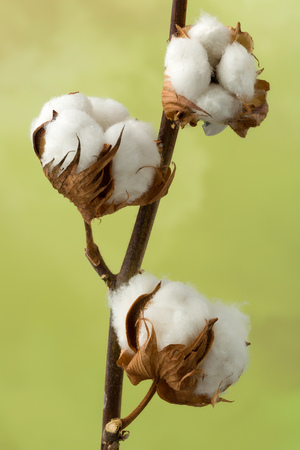 organic cotton: Natural stem of cotton flowers producing raw cotton for textile industry Stock Photo