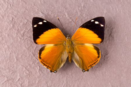 nymphalidae: Smyrna Blomfildia butterfly as found in Peru, English name Blomfilds Beauty, a species of the Nymphalidae family