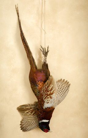 Still life of hunting scene with a hanging pheasant