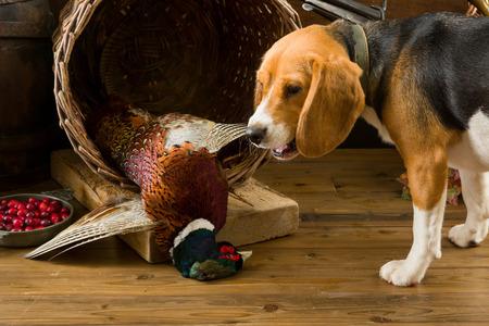 Joven Beagle tiene una primera experiencia como un perro de caza