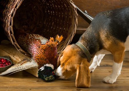 dead dog: Young Beagle having a first experience as a hunting dog Stock Photo