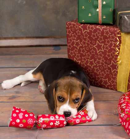 beagle puppy: Seven weeks old adorable little beagle puppy stealing a christmas gift Stock Photo