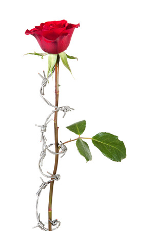 dangerous love: Dangerous love symbolised by barbed wire curling around a rose