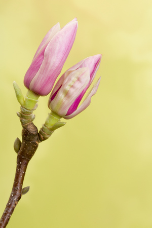 magnolia branch: Branch of Magnolia flowers in full blossom in springtime