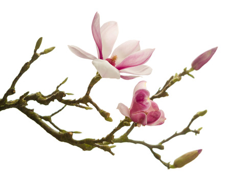 Branch of Magnolia flowers in full blossom in springtime
