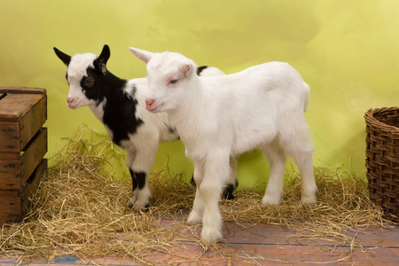 bleating: Ten days old little baby milk goats Stock Photo