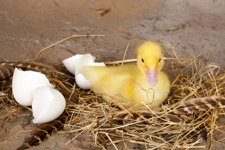 Resting little yellow duckling with broken eggshells and nest Stock Photo