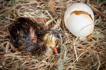 hatched: Sleeping hatched duckling lying tired beside its egg