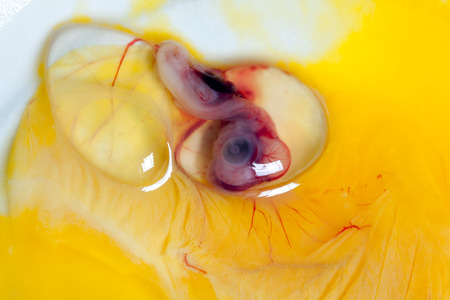 incubation: Embryo of a duckling or chick 9 days after incubation, the eye is clearly visible (no animal cruelty done for this image). Stock Photo