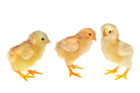 Three little newly hatched yellow easter chicks on a white background