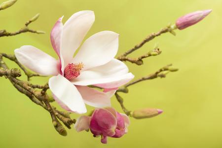 春の満開モクレンの花の枝