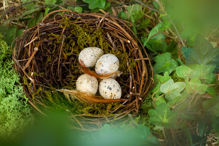 birds nest: View through blurred leaves into a birds nest with blue eggs